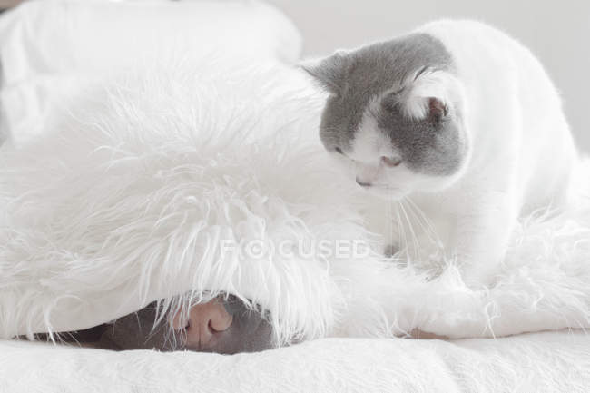 Шар Пей спит в постели. — стоковое фото