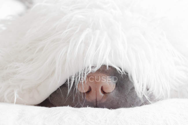 Шар-пей собака спить — стокове фото