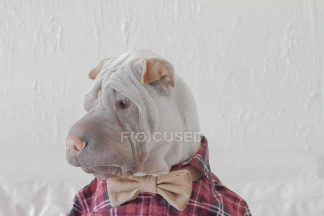 Portrait de chien shar-pei — Photo de stock