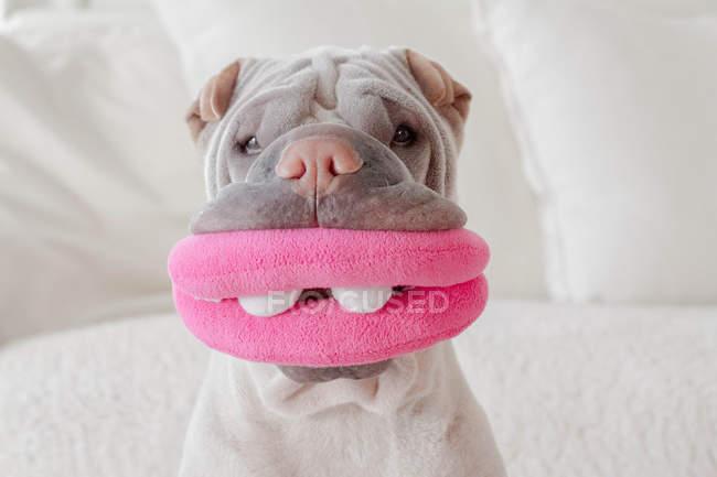 Porträt von Shar-pei Hund — Stockfoto