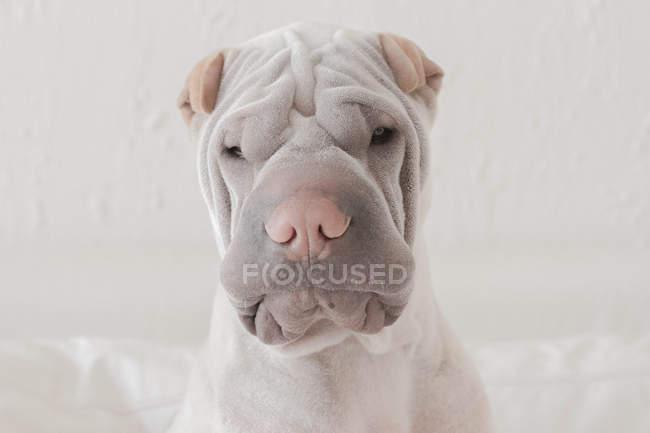 Porträt eines besorgten Hundes — Stockfoto