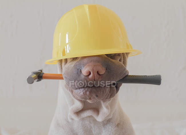 Shar-pei with safety helmet — Stock Photo