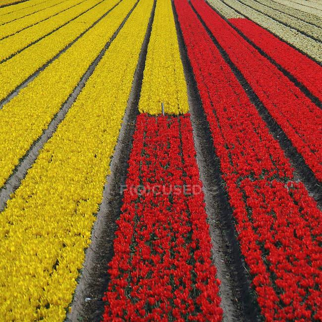 Tulipas vermelhas e amarelas no campo — Fotografia de Stock