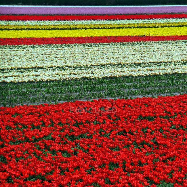 Multi colored field with tulips — Stock Photo