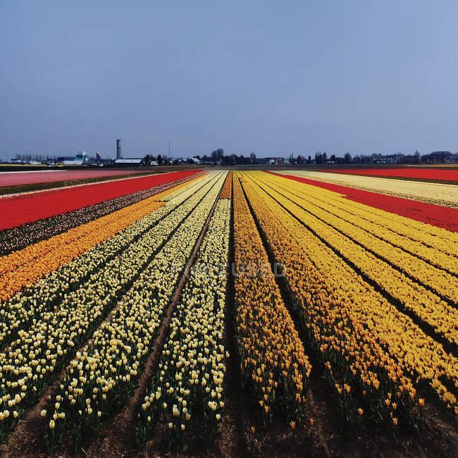 Campo multicolor con tulipanes - foto de stock