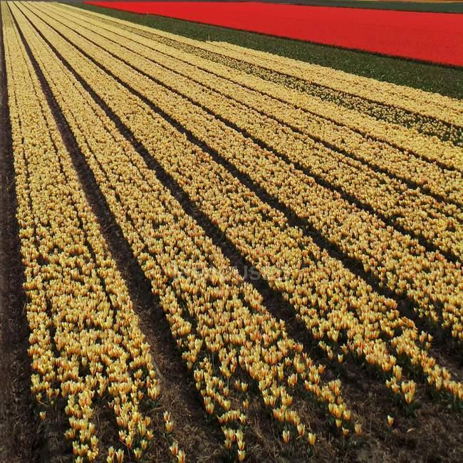 Поле с желтыми и красными тюльпанами — стоковое фото