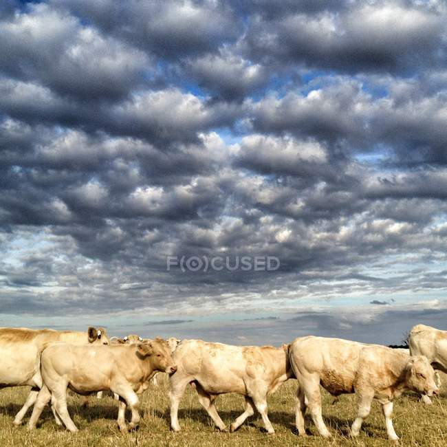 Cattle walking in field — Stock Photo