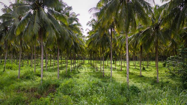 Рядки кокосових пальм — стокове фото