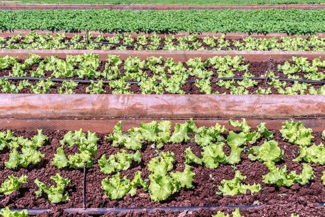 Rows of organic vegetables at farm — Stock Photo