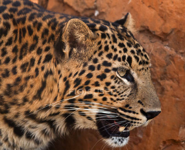 Портрет леопарда, южная Африка — стоковое фото