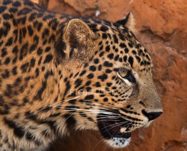 Portrait of leopard, South Africa — стоковое фото