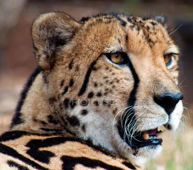 Muso di ghepardo — Foto stock
