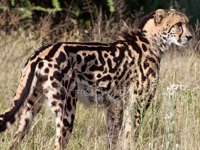 Король гепардов в кустах — стоковое фото