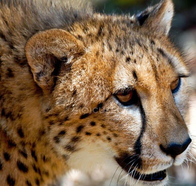 Museau de King Cheetah — Photo de stock