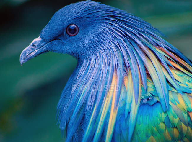 Портрет Никобар голубь — стоковое фото