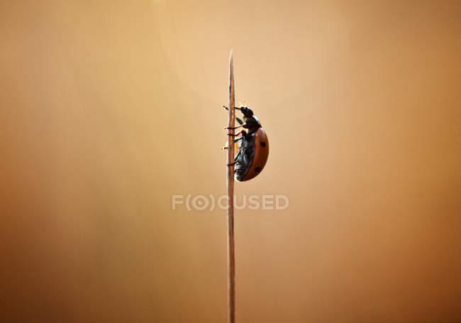 Coccinella strisciando — Foto stock