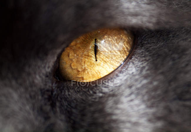 Olho de gato persa — Fotografia de Stock
