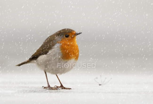 Pettirosso nella neve — Foto stock