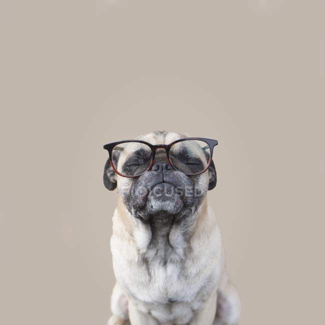 Portrait of a pug dog — Stock Photo