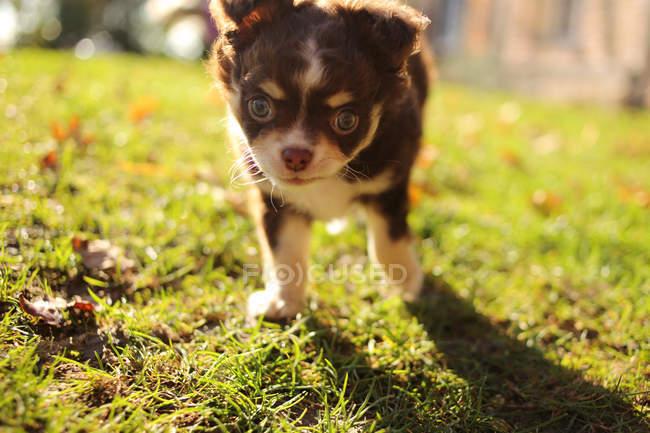 Chihuahua cucciolo verso fotocamera — Foto stock