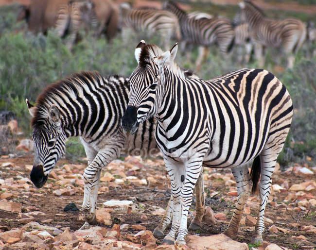Стадо зебри, Південно-Африканська Республіка — стокове фото