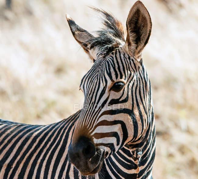 Портрет Зебра, Південна Африка — стокове фото