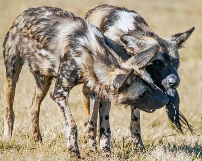 Плямистий двох гієни — стокове фото