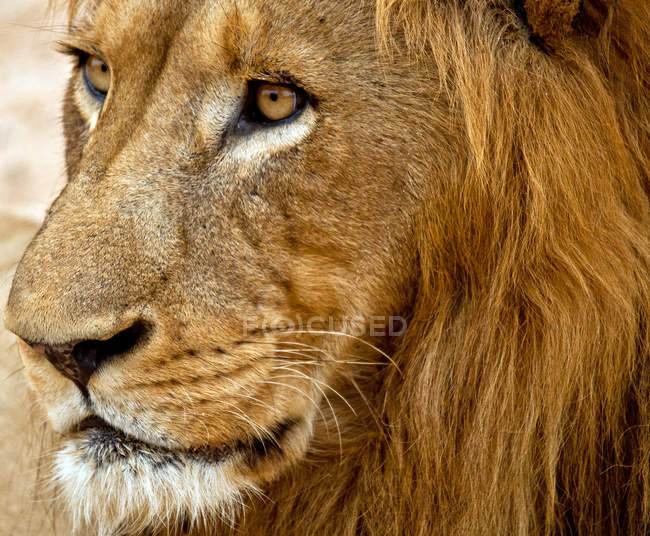 Majestic glance wild lion — Stock Photo