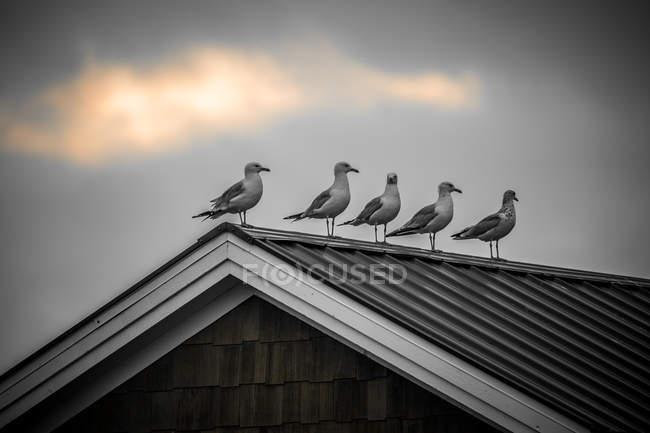 Gabbiani appollaiati sul tetto — Foto stock