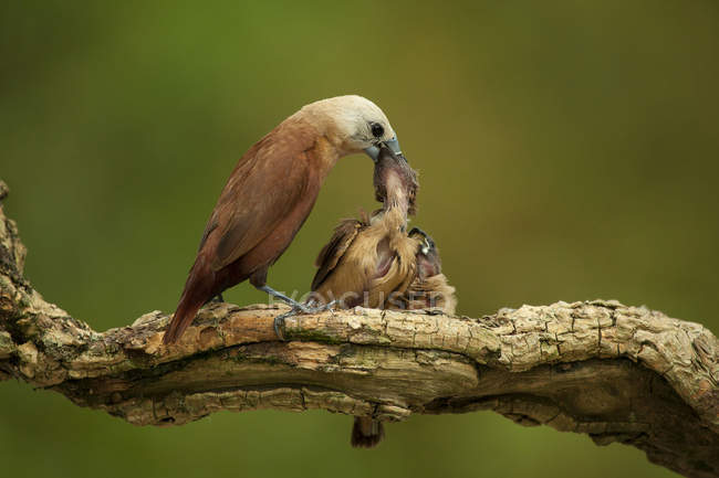 Due pulcini di alimentazione dell'uccello — Foto stock