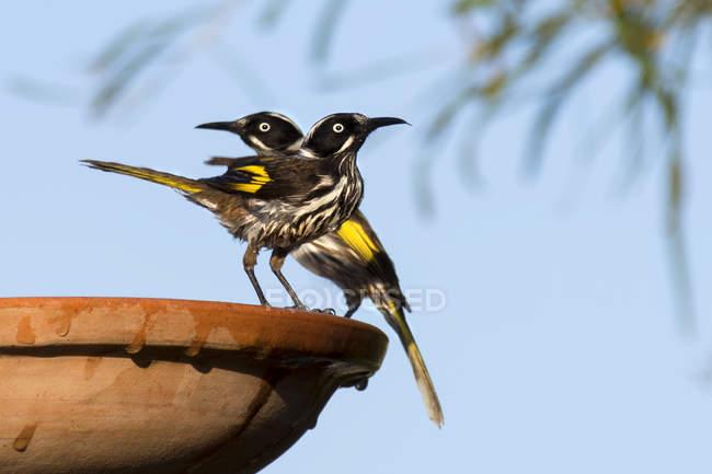 Nuovi uccelli Olanda Honeyeater — Foto stock