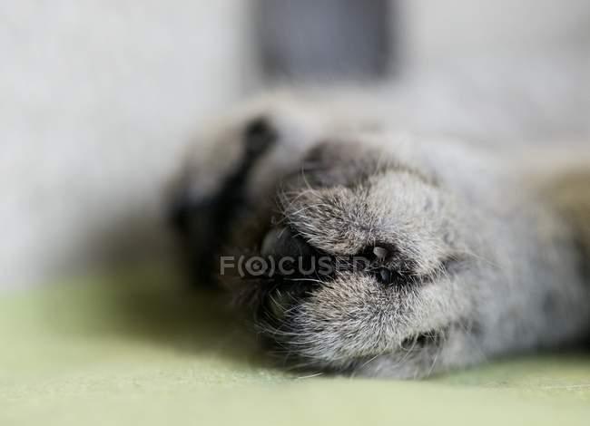 Кошачья лапа лежит на поверхности — стоковое фото