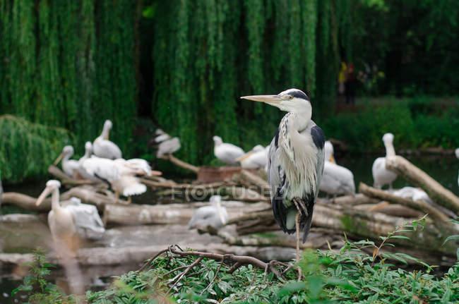 Aironi e pellicani in giardino zoologico — Foto stock