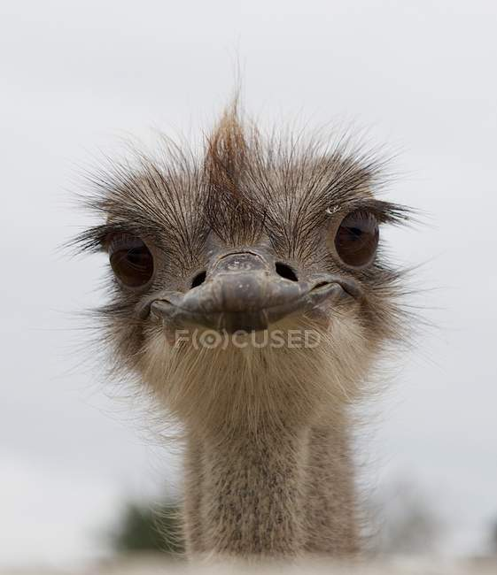 Struzzo bello occhi dell'uccello — Foto stock