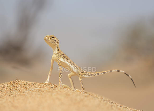 Pé de lagarto selvagem Antunes — Fotografia de Stock