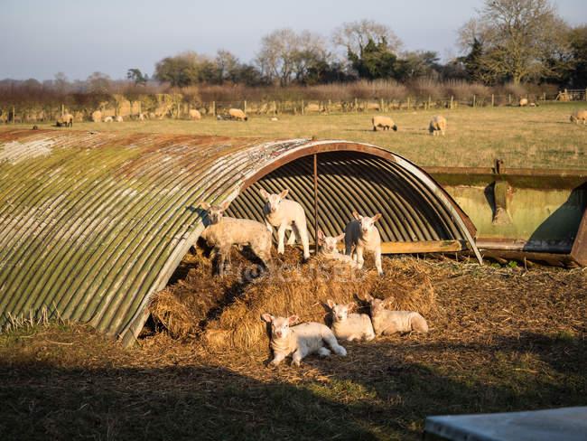 Ягнят в поле насолоджуючись сонцем — стокове фото