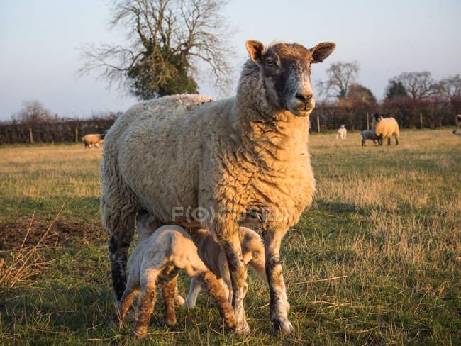 Ewe feeding two lambs in field — Stock Photo