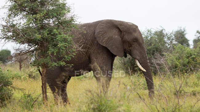 Side view of elephant in National Park — Stock Photo