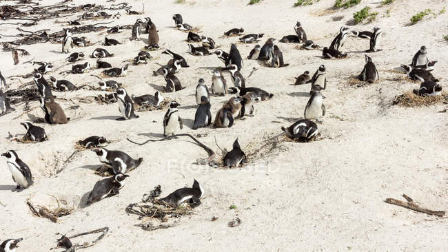 Colony of Penguins on beach — Stock Photo
