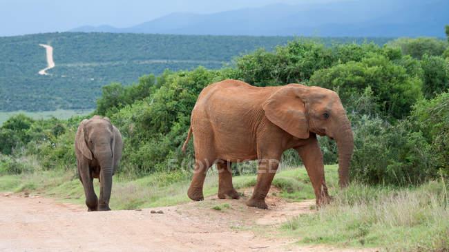 Two african elephants walking in road — Stock Photo