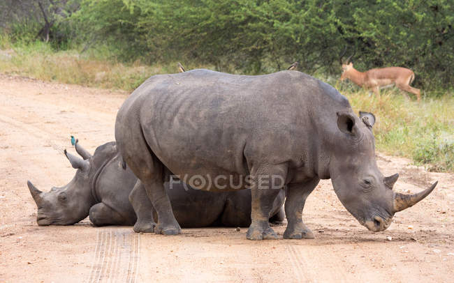 Two rhinos and impala in National Park — Stock Photo