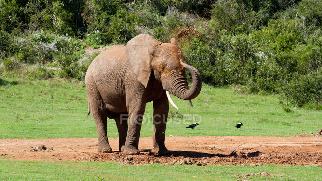 African Elephant bathing — Stock Photo