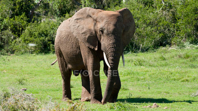 African Elephant in Aberdeen Plain — Stock Photo