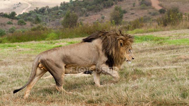 Side view of lion walking in field — Stock Photo