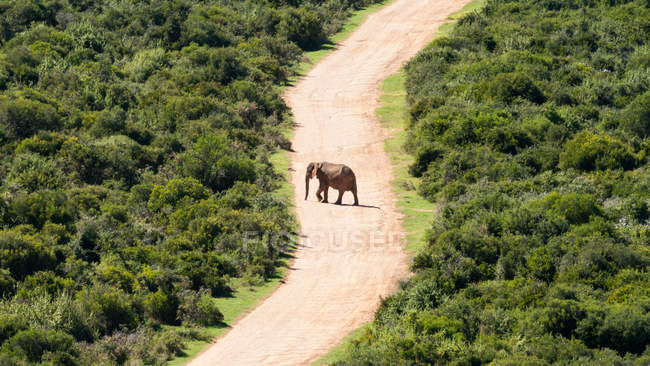 African elephant crossing road — Stock Photo
