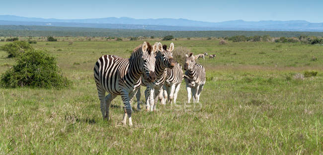 Стадо зебр в галузі — стокове фото