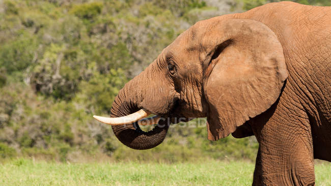 Portrait of African Elephant — Stock Photo