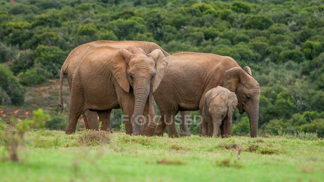 Elephant family in Aberdeen Plain — Stock Photo