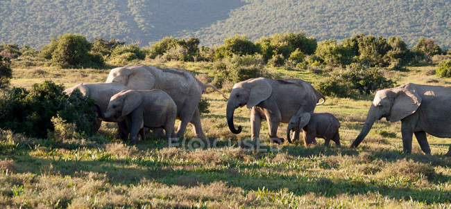 Herd of african elephants — Stock Photo
