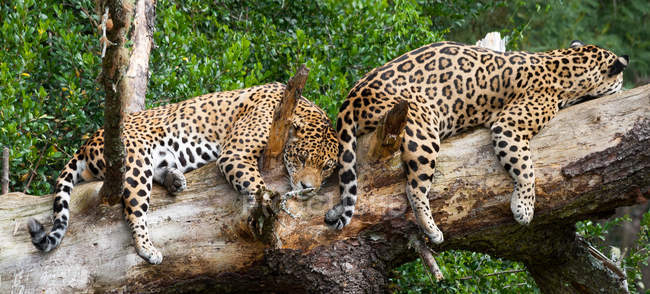 Two jaguars lying on tree trunk — Stock Photo
